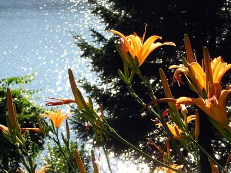 Summerlillies_2